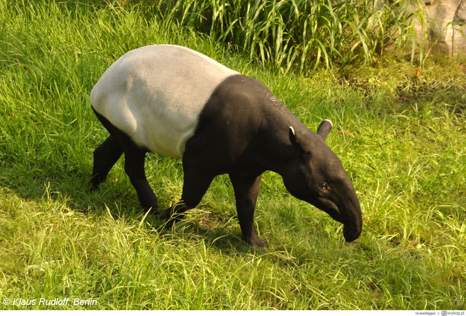 Tapir malajski