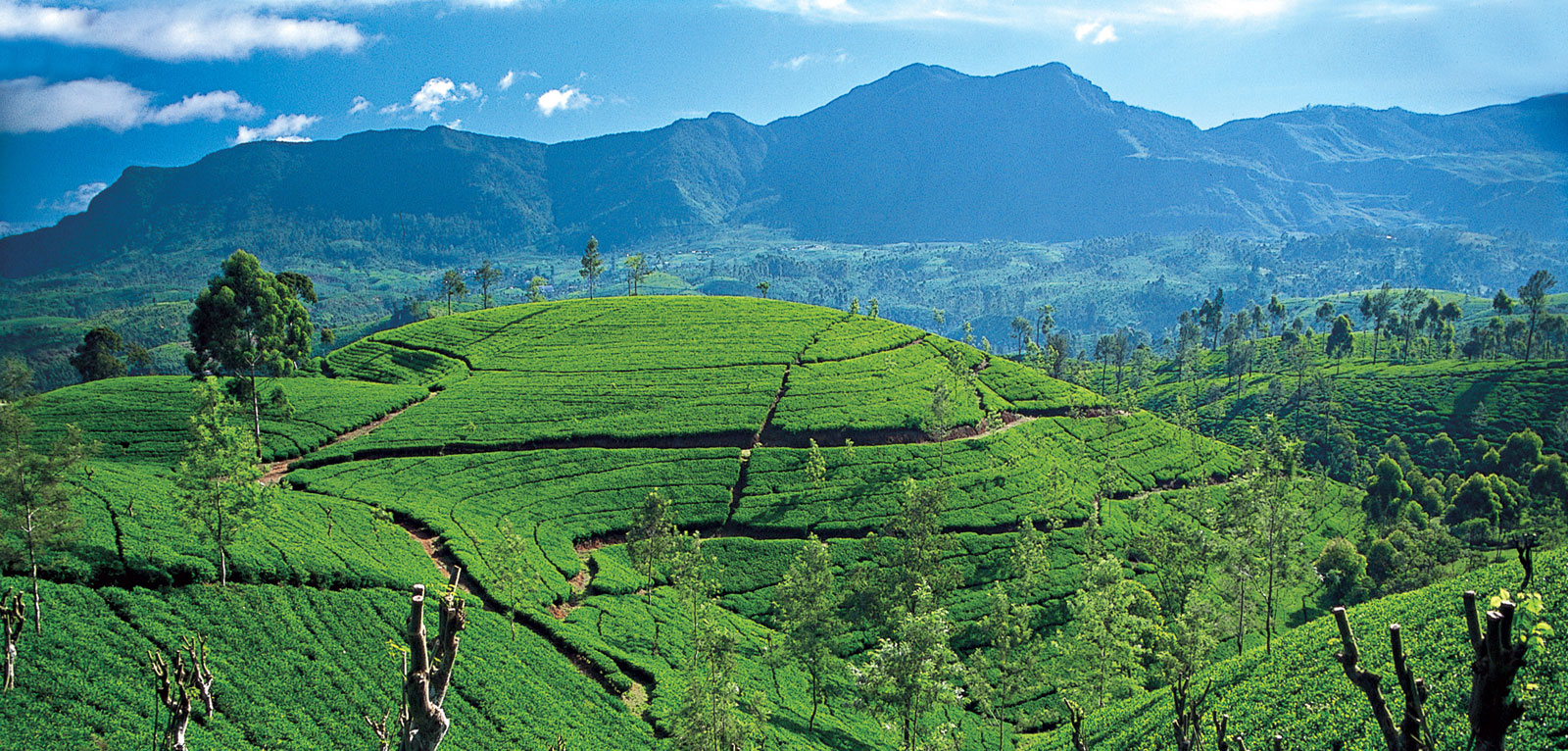 Pola herbaciane na Sri Lance